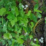 Epimedium diphyllum 'Shiro Chiri Fu'