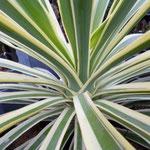 Yucca gloriosa 'Variegata'
