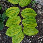 Polygonatum lasianthum 'Ougon Chiri Fu'