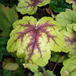 Heuchera 'Sunspot'