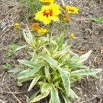 Coreopsis lanceolata 'Tequila Sunrise'