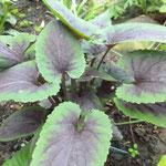 Viola x cultorum 'Heartthrob'