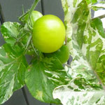 Solanum lycopersicum 'Variegata'