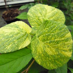 Viburnum lantana 'Variegata'