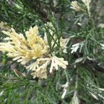 Juniperus davurica 'Expanda'
