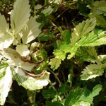 Agrimonia pilosa 'Variegata'