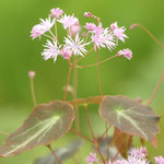 Thalictrum ichangense 'Evening Star', Foto: Winfried Rusch