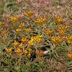 Sedum floriferum 'Diffusum', Foto: Winfried Rusch
