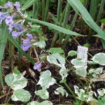 Meehania urticifolia 'Wandering Minstrel', Foto: Uwe Greßmann