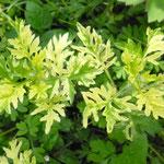 Artemisia vulgaris 'Janlim'