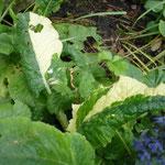 Primula vulgaris 'Variegata'