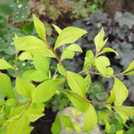 Ceratostigma plumbaginoides 'Aurea'