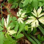 Anemone nemorosa 'Jan'