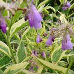 Symphytum officinale ssp. bohemicum 'Variegatum'