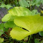Caltha palustris 'Aurea'