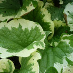 Brunnera macrophylla 'Green and Creme'