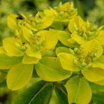 Euphorbia jacquemontii, Foto: Winfried Rusch