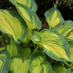 Hosta sieboldiana 'Great Expectations', Foto: Winfried Rusch