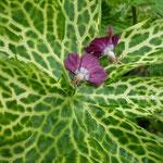 Geranium phaeum 'Conny Broe'