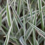 Phalaris arundinacea 'Picta', Foto: Winfried Rusch
