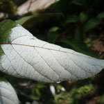 Actinidia pilosula