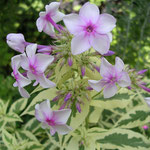 Phlox paniculata 'Nora Leigh'