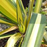 Yucca filamentosa 'Colour Guard'