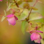 Origanum rotundifolium 'Kent Beauty', Foto: Winfried Rusch