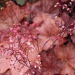 Heucherella 'Beaujolais', Foto: Winfried Rusch