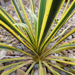 Yucca filamentosa 'Variegata'