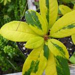 Rhododendron 'Hermann Winzer'
