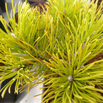 Pinus mugo 'Golden Thomas'