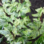 Hedera helix 'Tapazolite'
