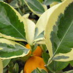 Citrofortunella microphylla 'Variegata'
