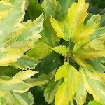 Physocarpus opulifolius 'Annys Gold', Foto: Uwe Greßmann