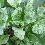 Viola sororia 'Freckles Binsted'