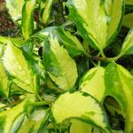 Ilex aquifolium 'Comtesse'