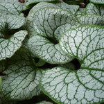 Brunnera macrophylla 'Variegata2'