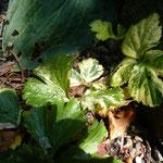 Waldsteinia ternata 'Variegata'