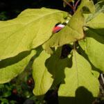 Syringa vulgaris 'Aurea'
