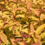 Spiraea japonica 'Gold Flame', Foto: Winfried Rusch