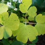 Aquilegia vulgaris 'Woodside Gold'