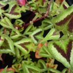 Persicaria runciata 'Purple Fantasie'