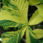 Aesculus x carnea 'Aureomarginatum'