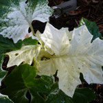 Acanthus mollis 'Whitewater'