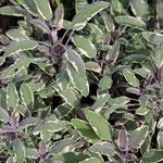 Salvia officinalis 'Tricolor Hexenmantel', Foto: Winfried Rusch