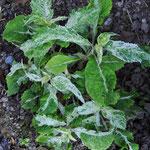 Leucoceptrum 'Shiotiritu'