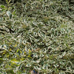 Cornus alternifolia 'Argentea', Foto: Winfried Rusch
