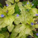 Brunnera macrophylla 'Yellow Spring'