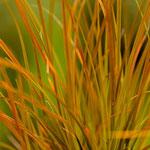 Carex testacea, Foto: Winfried Rusch